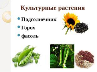Культурные растения Подсолнечник Горох фасоль