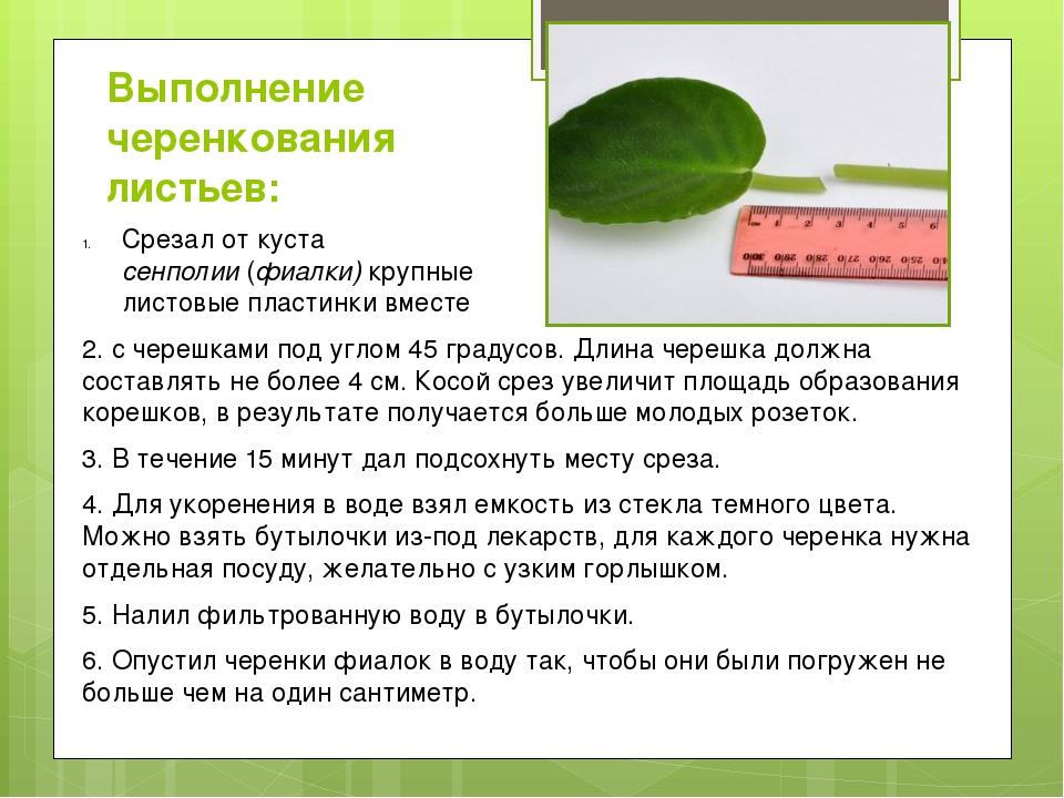 Выполнение черенкования листьев: 2. с черешками под углом 45 градусов. Длина...