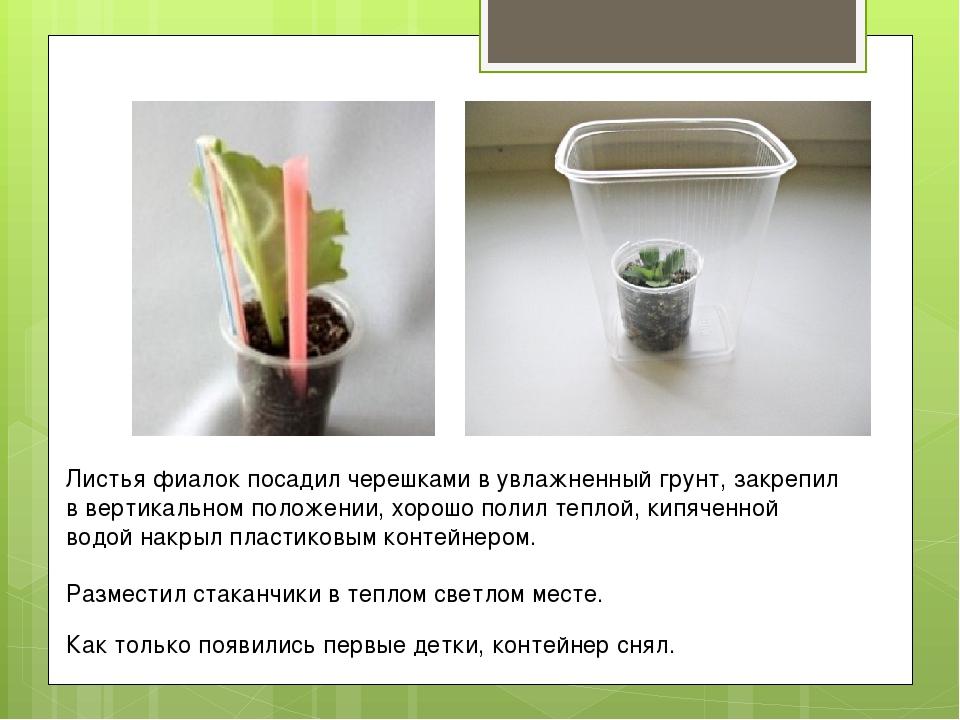 Как правильно посадить черенок фиалки с корнями в землесмесь