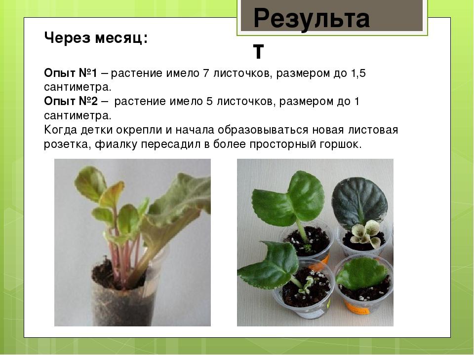Результат Через месяц: Опыт №1 – растение имело 7 листочков, размером до 1,5...