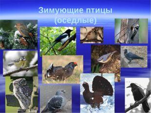 Зимующие птицы (оседлые)