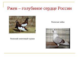 Ржев – голубиное сердце России Ржевский ленточный турман Ржевская чайка