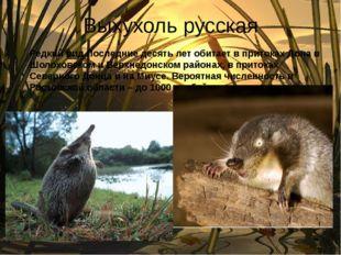 Выхухоль русская Редкий вид.Последние десять лет обитает в притоках Дона в Шо