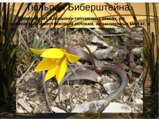 Тюльпан Биберштейна. Произрастает в полынно-типчаковых степях, по каменистым