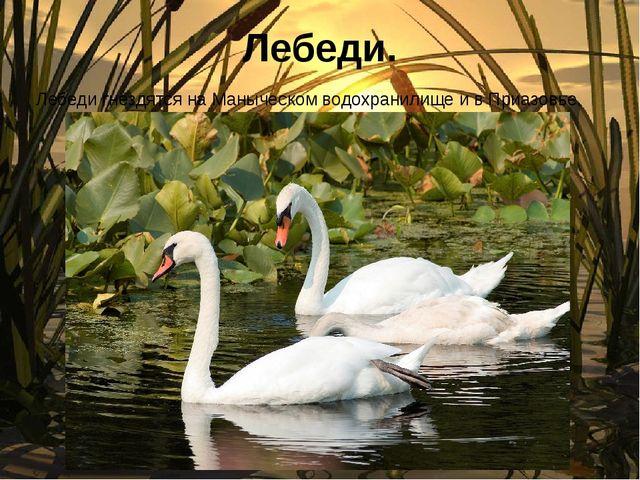 Лебеди. Лебеди гнездятся на Маныческом водохранилище и в Приазовье.