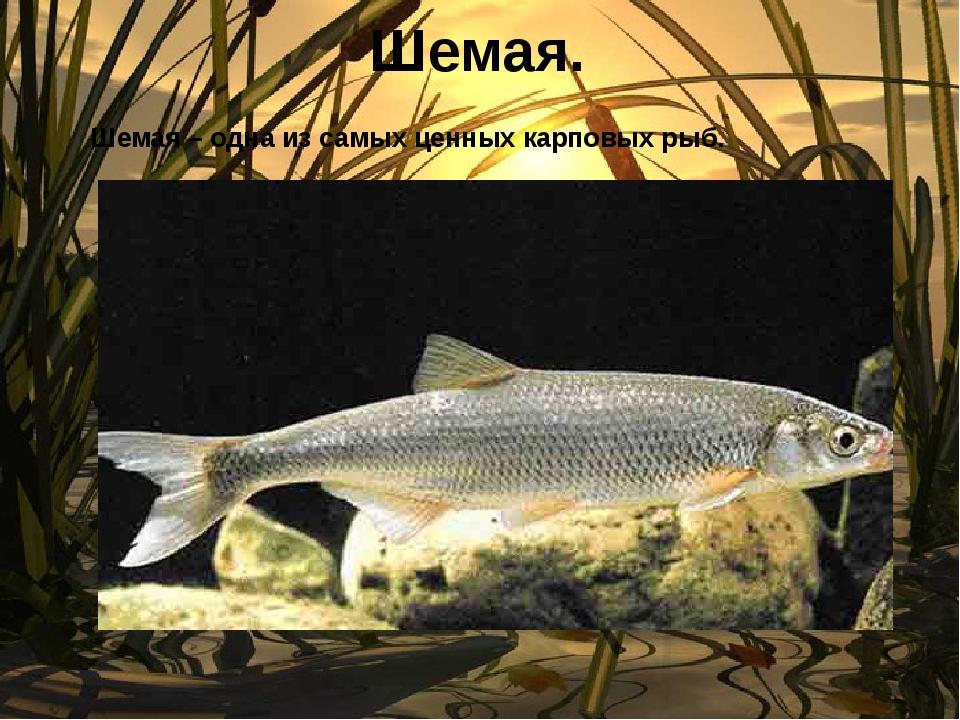Шемая. Шемая – одна из самых ценных карповых рыб.