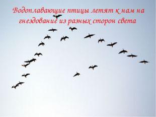 Водоплавающие птицы летят к нам на гнездование из разных сторон света