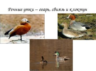 Речные утки – огарь, свиязь и клоктун