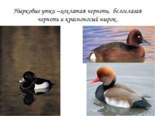 Нырковые утки –хохлатая чернеть, белоглазая чернеть и красноносый нырок.