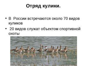 Отряд кулики. В России встречаются около 70 видов куликов 20 видов служат объ