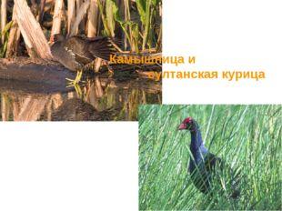 Камышница и султанская курица