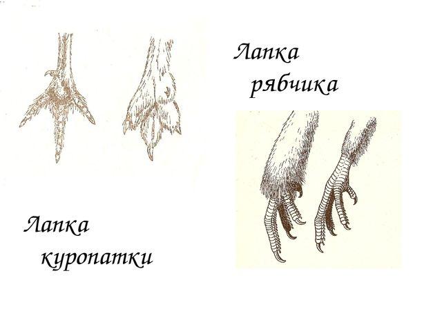 Лапка куропатки Лапка рябчика