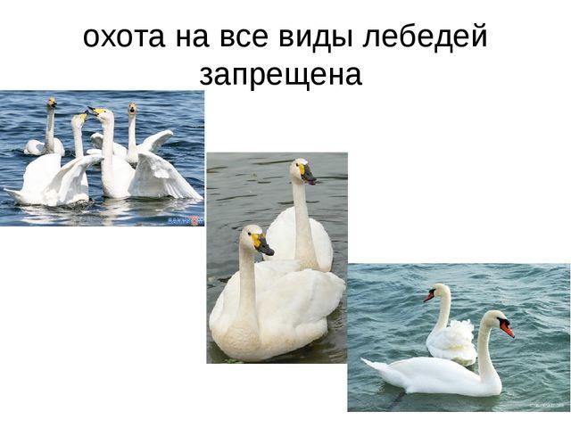 охота на все виды лебедей запрещена