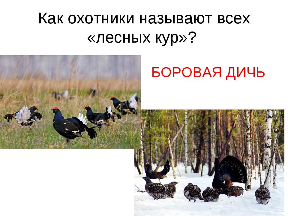 Как охотники называют всех «лесных кур»? БОРОВАЯ ДИЧЬ