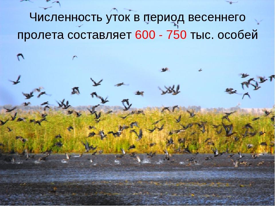 Численность уток в период весеннего пролета составляет 600 - 750 тыс. особей