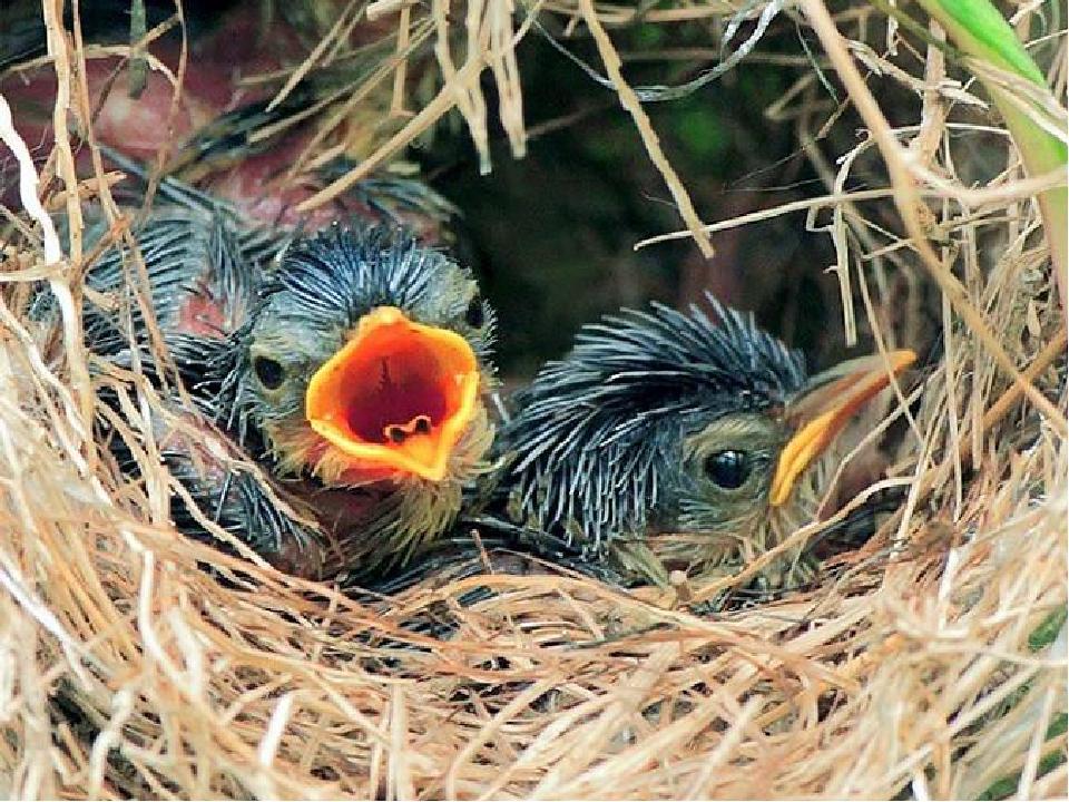 Конкурс «Лучший знаток природы» Почему пища, положенная человеком в гнездо, н...
