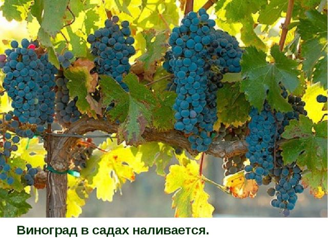 Виноград в садах наливается.