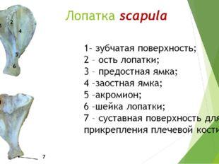 Лопатка scapula