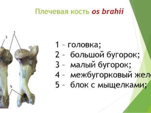 Плечевая кость os brahii