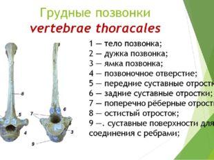 Грудные позвонки vertebrae thoracales