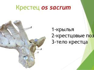 Крестец os sacrum