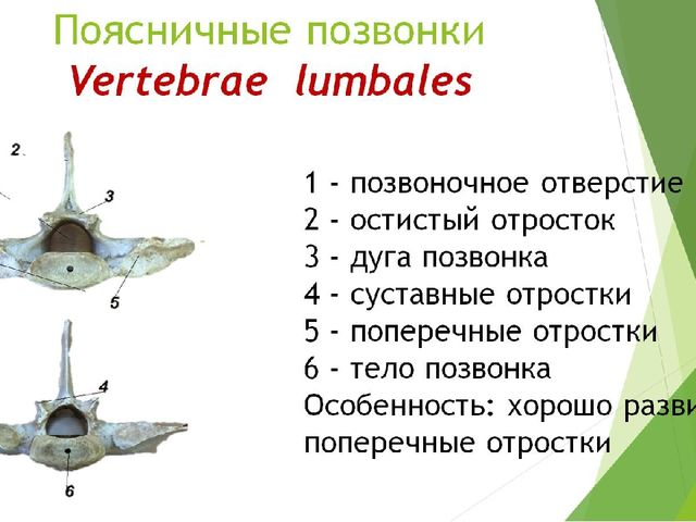 Поясничные позвонки Vertebrae lumbales