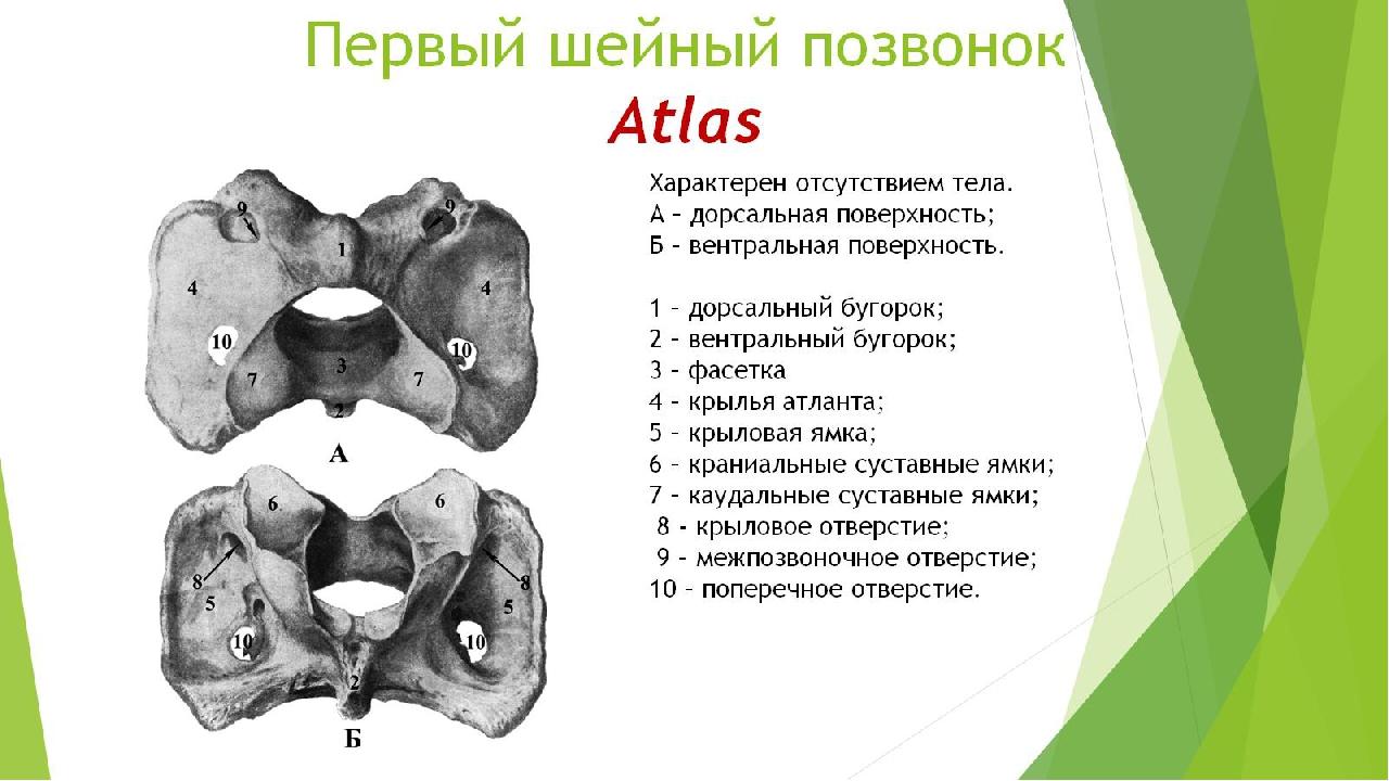 Первый шейный позвонок Atlas