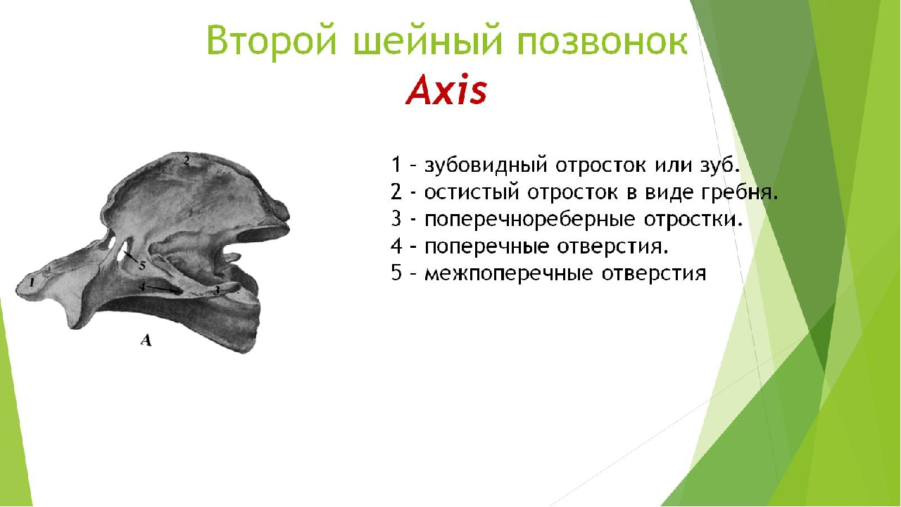 Второй шейный позвонок Axis