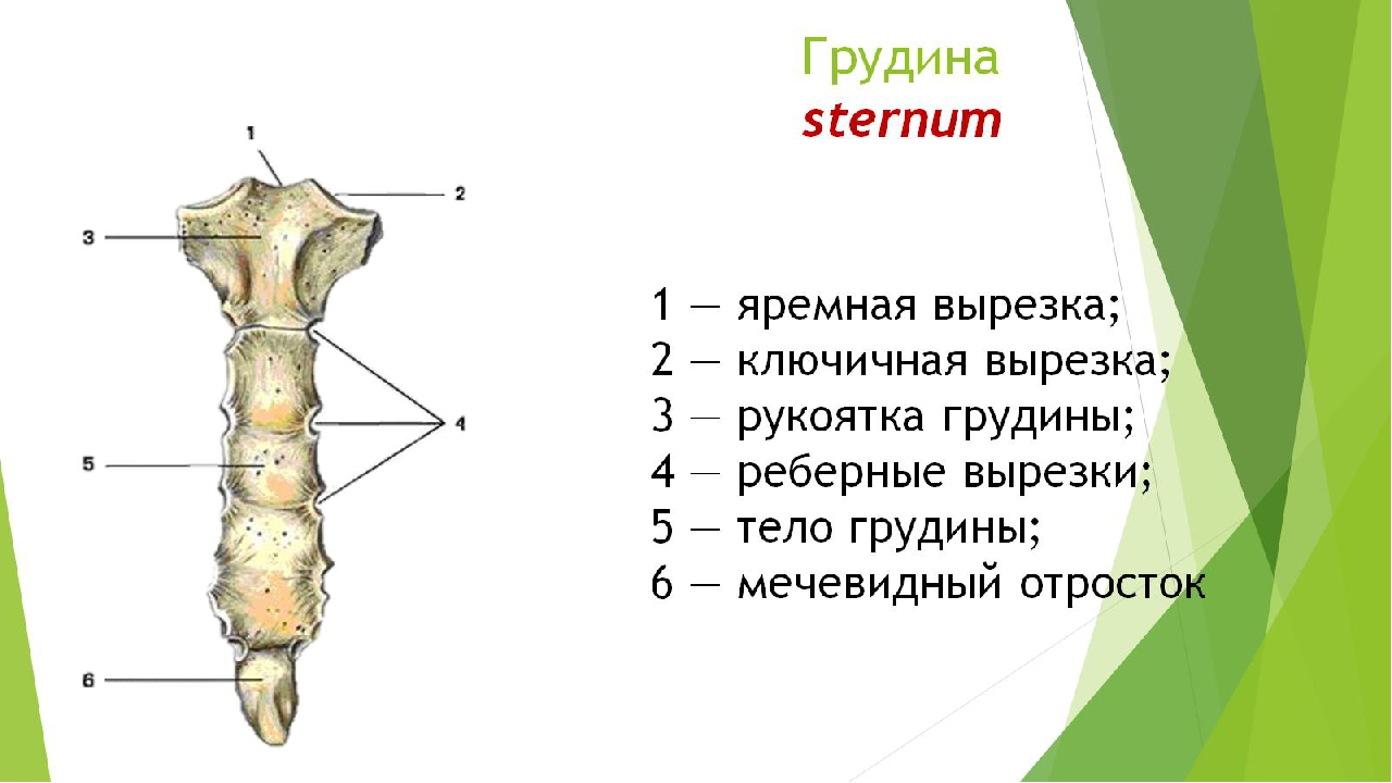 Грудина sternum