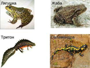 Жаба Лягушка Тритон Саламандра
