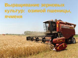 Выращивание зерновых культур: озимой пшеницы, ячменя