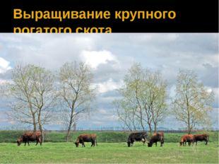 Выращивание крупного рогатого скота