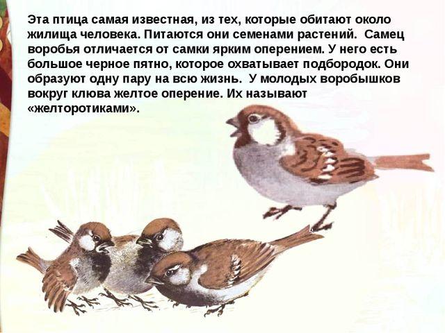 Эта птица самая известная, из тех, которые обитают около жилища человека. Пит...