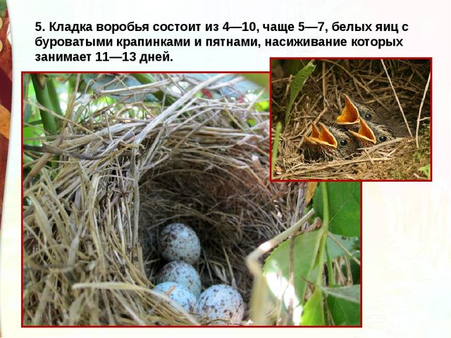 5. Кладка воробья состоит из 4—10, чаще 5—7, белых яиц с буроватыми крапинкам...