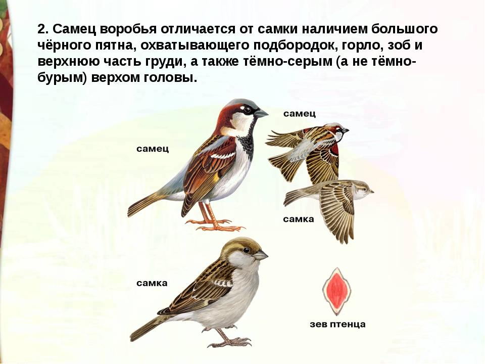 2. Самец воробья отличается от самки наличием большого чёрного пятна, охватыв...