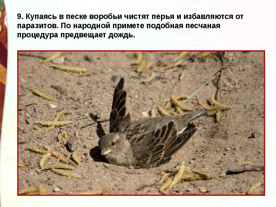 9. Купаясь в песке воробьи чистят перья и избавляются от паразитов. По народн...