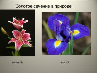 Золотое сечение в природе лилия (3) ирис (3)