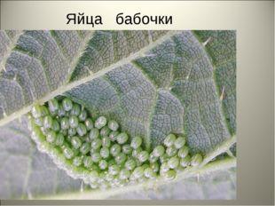 Яйца бабочки