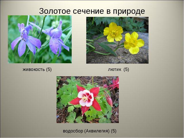 Золотое сечение в природе лютик (5) водосбор (Аквилегия) (5) живокость (5)