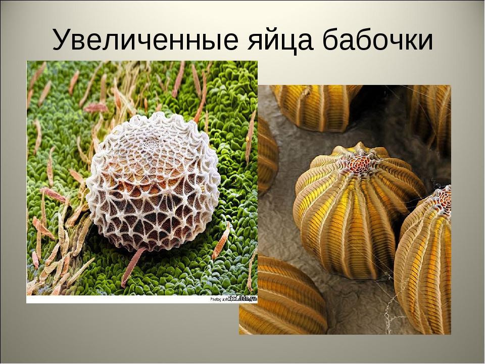 Увеличенные яйца бабочки
