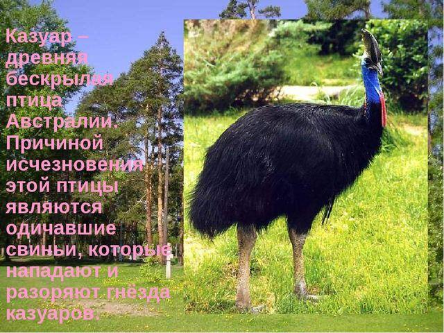 Казуар – древняя бескрылая птица Австралии. Причиной исчезновения этой птицы...