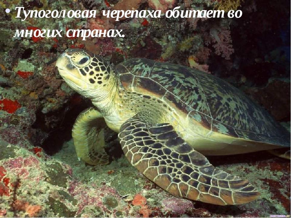 Тупоголовая черепаха обитает во многих странах.