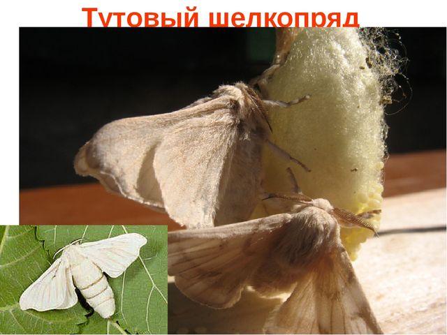 Тутовый шелкопряд