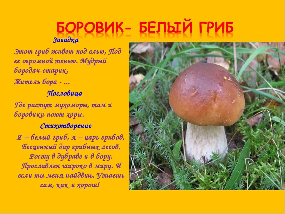 Загадка Этот гриб живет под елью, Под ее огромной тенью. Мудрый бородач-стари...