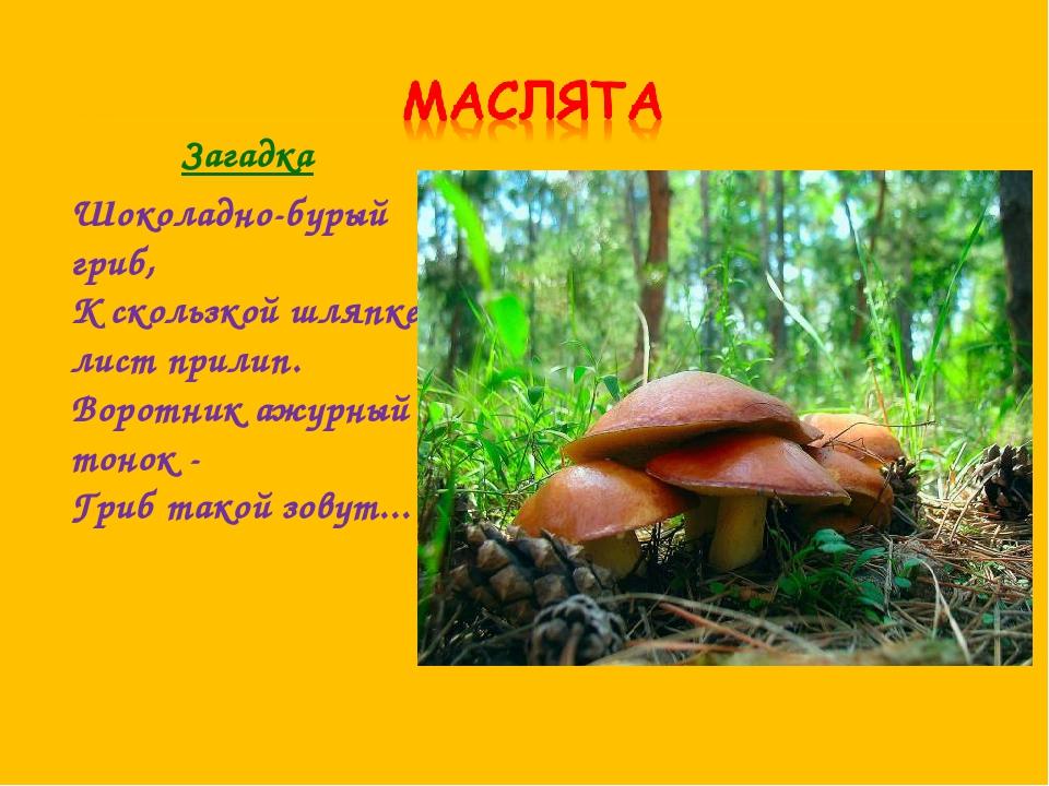 Загадка Шоколадно-бурый гриб, К скользкой шляпке лист прилип. Воротник ажур...