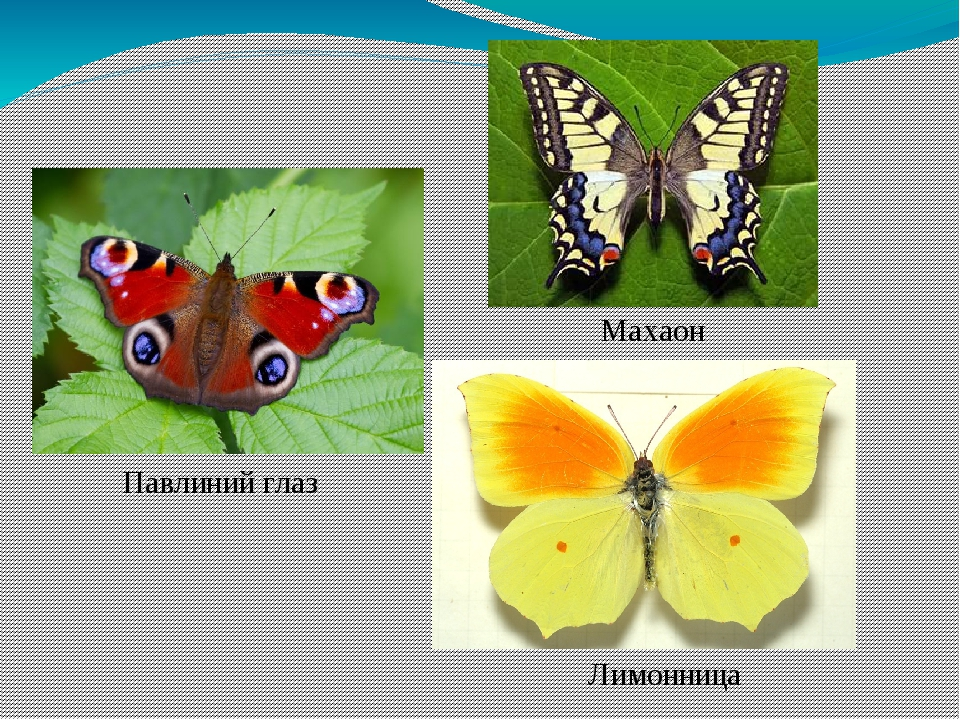Павлиний глаз Махаон Лимонница