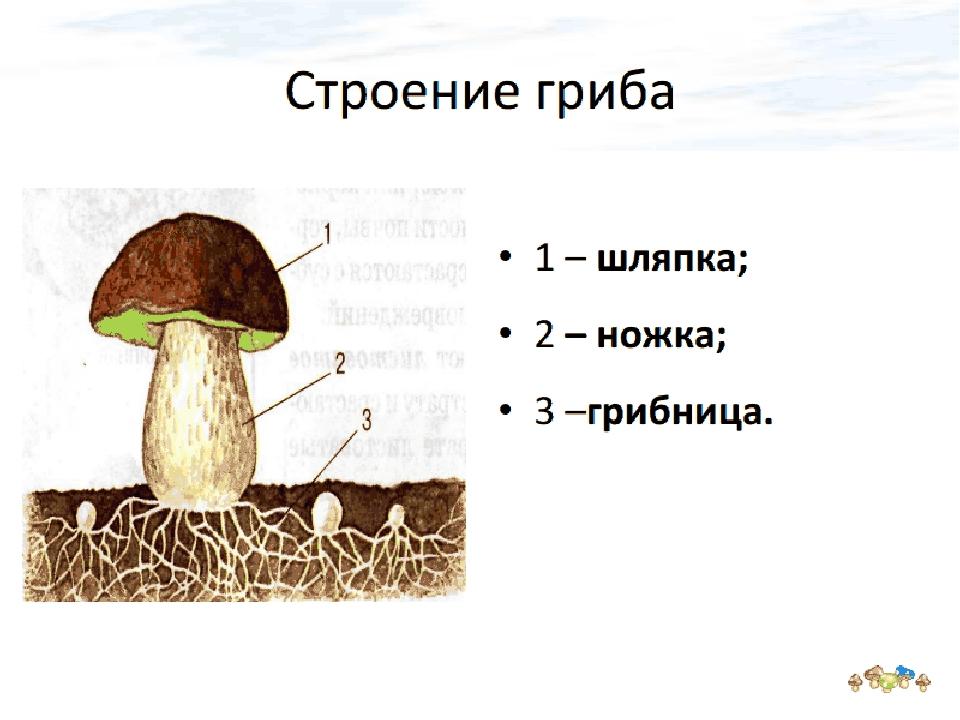 Картинка части гриба