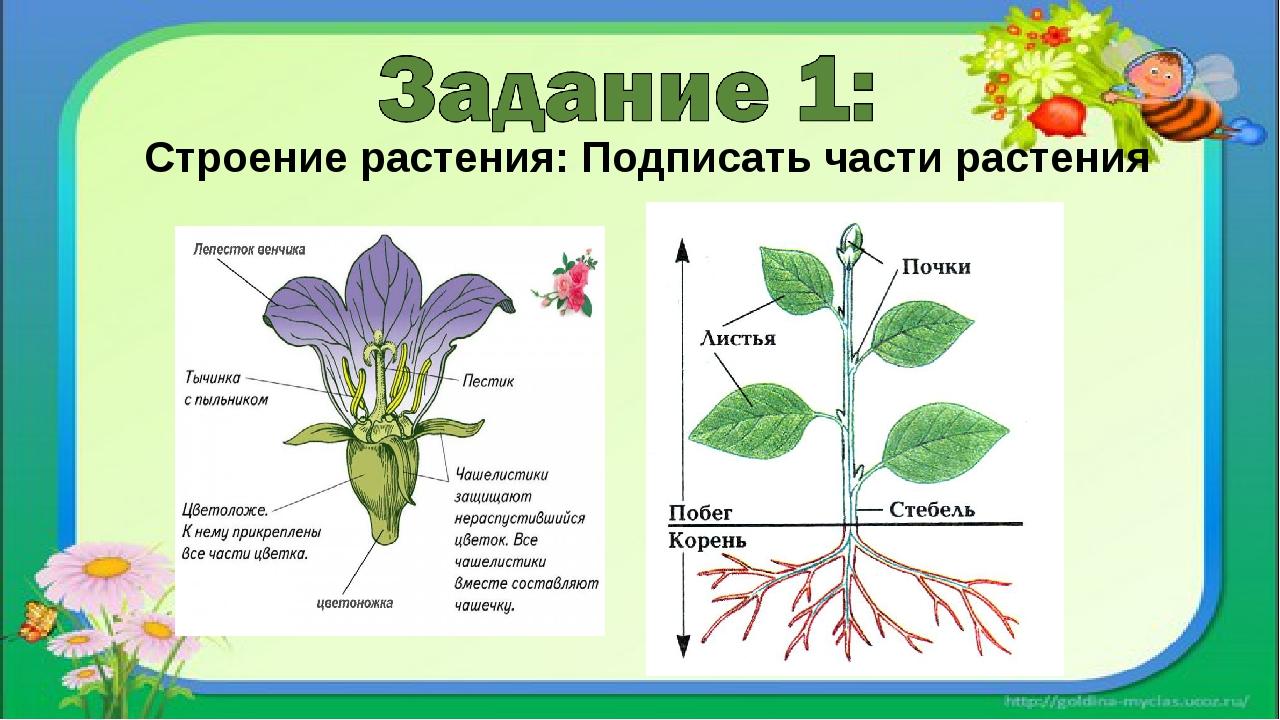 Рисунки растений подписаны