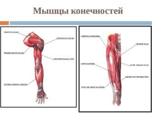Мышцы конечностей