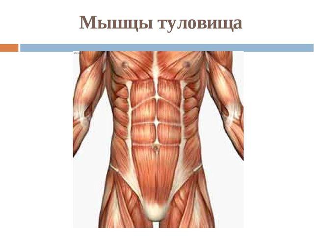 Мышцы туловища